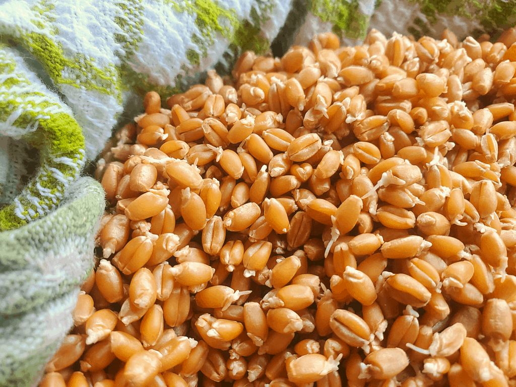 Close up of sprouted wheat berries