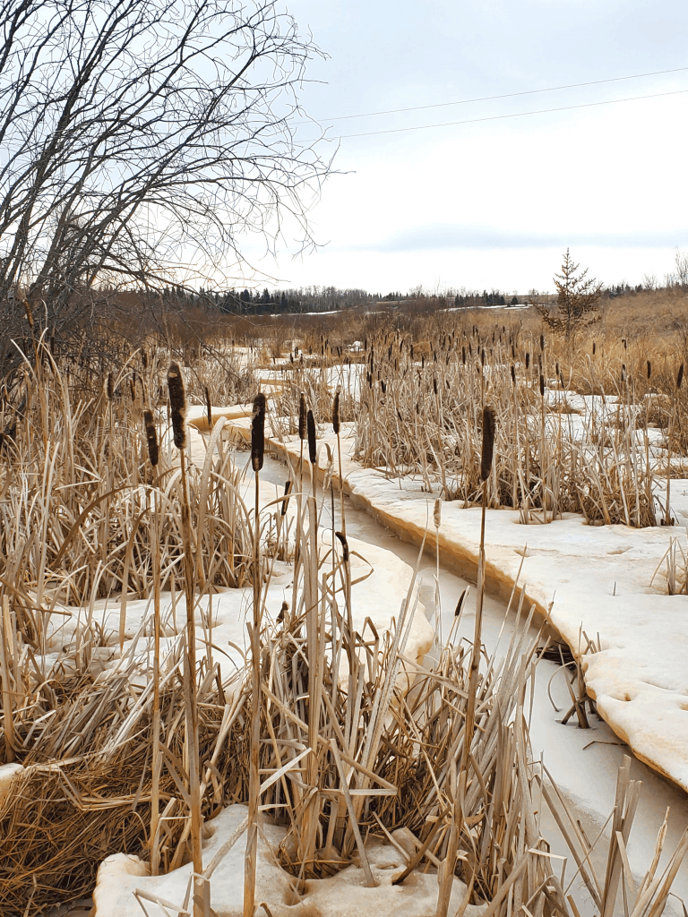 Cattails by a stream in spring